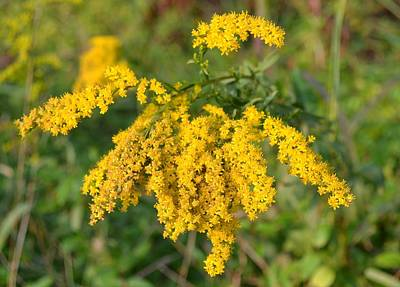 Art Print featuring the photograph Goldenrod by Mary Zeman