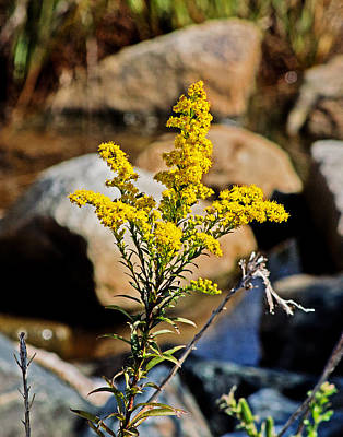 Photograph - Goldenrod On The Rocks by Bill Swartwout