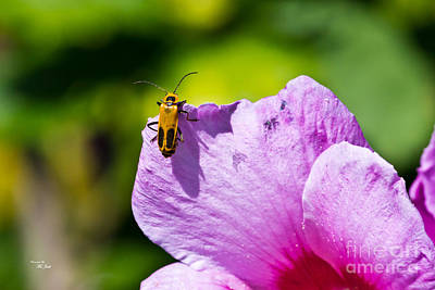 Photograph - Goldenrod Soldier Beetle by Ms Judi