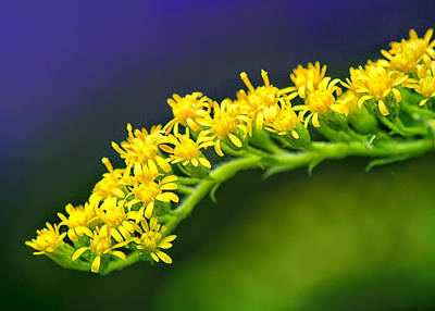 Photograph - Goldenrod Stem by Carolyn Derstine