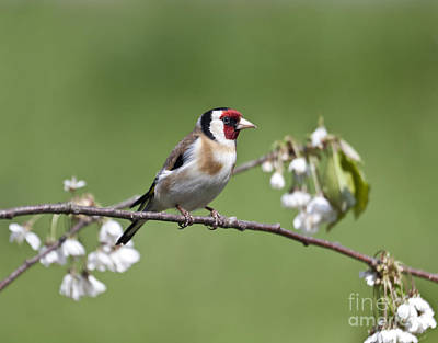 Finch Photograph - Goldfinch And Plum Blossom by Liz Leyden