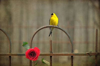 Photograph - Goldfinch And Roses  by Emily Stauring