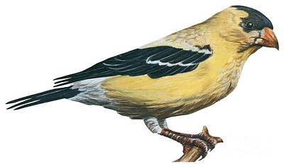 Horizontal Drawing - Goldfinch  by Anonymous