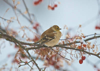 Photograph - Goldfinch Brrrr by Kristin Hatt