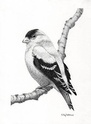 Goldfinch Drawing - Goldfinch by Catherine Hoffman