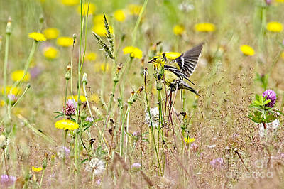 Photograph - Goldfinch In A Field Of Wildflowers by Sharon Talson