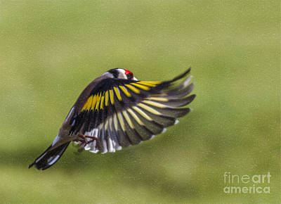 Goldfinch Digital Art - Goldfinch In Fight by Liz Leyden