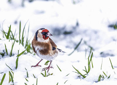 Winter Digital Art - Goldfinch In Snow by Liz Leyden