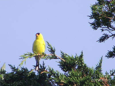 Photograph - Goldfinch by Michelle Welles