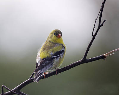 Art Print featuring the photograph Goldfinch Molting To Breeding Colors by Susan Capuano