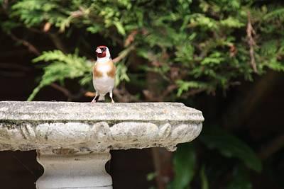 Photograph - Goldfinch On Birdbath by Gordon Auld