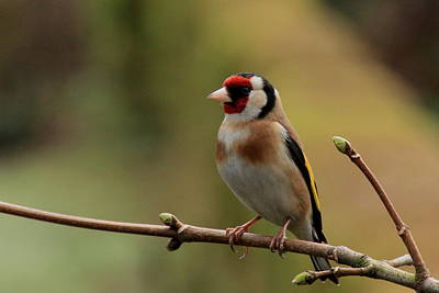 Goldfinch Art Print by Peter Skelton