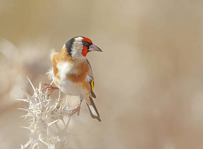 Thorns Wall Art - Photograph - Goldfinch - Profile by Shlomo Waldmann