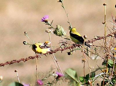 Photograph - Goldfinch Quest 1 by Erica Hanel