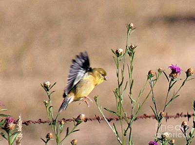 Photograph - Goldfinch Quest 2 by Erica Hanel