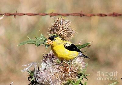 Photograph - Goldfinch Quest 4 by Erica Hanel