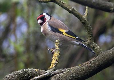 Goldfinch Art Print