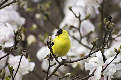 Photograph - Goldfinch Spring - D008418 by Daniel Dempster