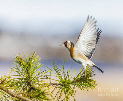 Digital Art - Goldfinch Taking Off by Liz Leyden