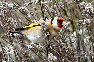 Photograph - Goldfinch by Terri Waters