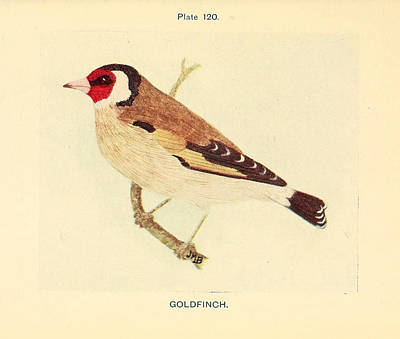 Goldfinch Drawing - Goldfinch by Philip Ralley