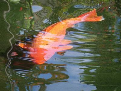 Stocktrek Images - Goldfish by Cornelia DeDona