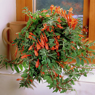 Goldfish Photograph - Goldfish Vine (columnea X Banksii) by The Picture Store/science Photo Library
