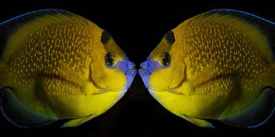 Metal Fish Art Photograph - Goldflake Angel Fish Mirrored by Izzy Standbridge