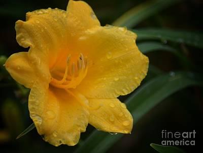 Photograph - Goldlen Lily Rain by Maria Urso