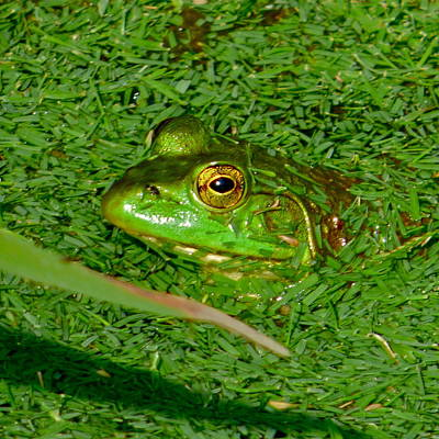 Photograph - Golf Course Frog by Jean Wright