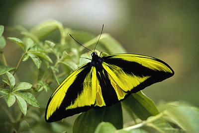 Goliath Birdwing Butterfly Irian Jaya Art Print