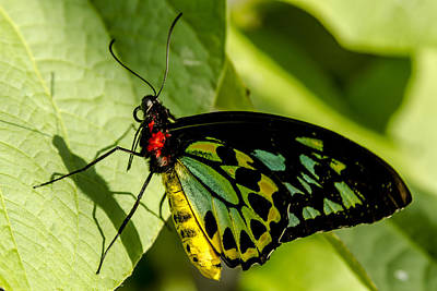 Photograph - Goliath Birdwing Butterfly by Teri Virbickis