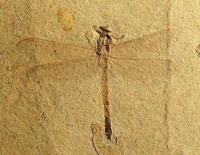 Paleozoology Photograph - Gomphidae Dragonfly Fossil by Gilles Mermet