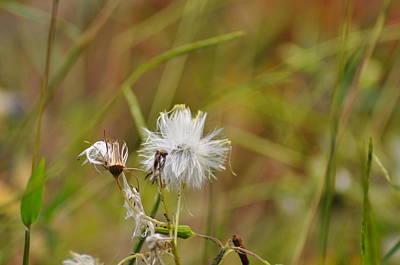 Dandelion Digital Art - Gone To Seed by Bill Cannon