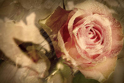 Photograph - Gone With The Wind Romantic Rose Close-up by Danuta Antas Wozniewska