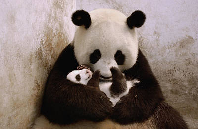 Panda Cub Photograph - Gongzhu Holding Her Cub  Wolong China by Katherine Feng