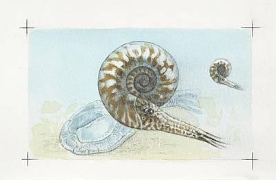 Paleozoology Photograph - Goniatite Ammonites by Deagostini/uig