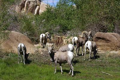 Good Bye Bighorn Sheep Print by Renee Sinatra