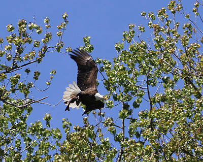 Bald Eagle Photograph - Good Catch by Bruce  Morrell