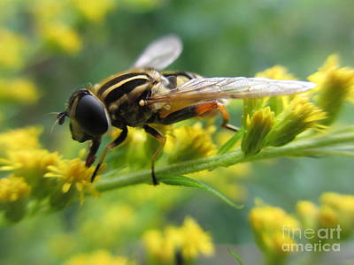 Good Guy Hoverfly  Art Print