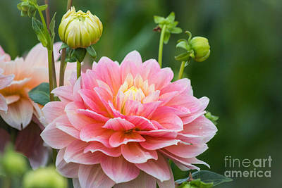 Photograph - Good Morning Dahlia by Patricia Babbitt