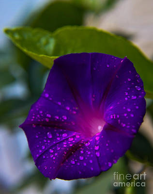 Good Morning  Glory Art Print