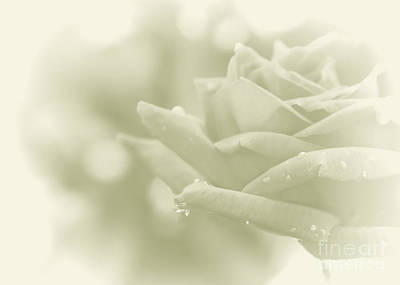 Photograph - Good Morning My Beautiful Rose by Olga Hamilton