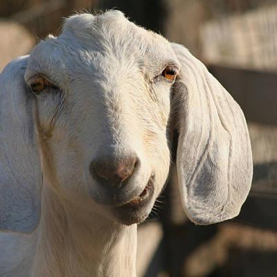 Goofy Goat Art Print by Art Block Collections
