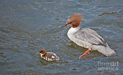 Duck Photograph - Goosander And Duckling by Liz Leyden