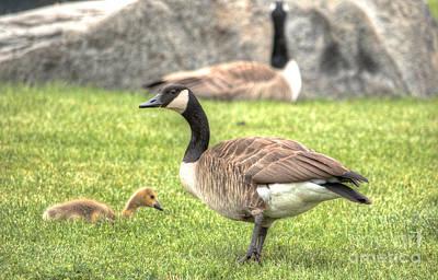 Goose And Gosling Afternoon Graze Art Print by Deborah Smolinske
