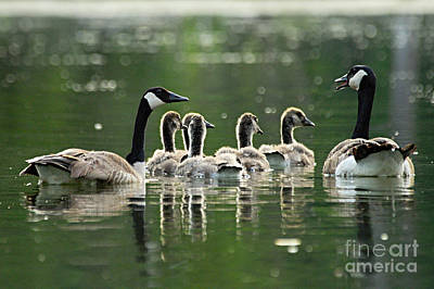 Photograph - Goose Family by Larry Ricker