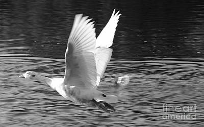 Photograph - Goose Flight by Jeremy Hayden