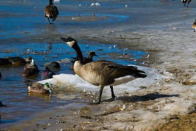Photograph - Goose Gazing Greater by Matt Radcliffe