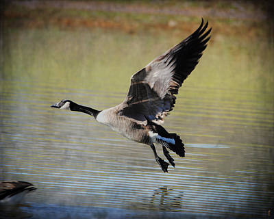 Goose In Flight 1 Art Print by Jai Johnson